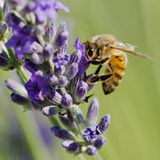 bee and a lavender flower