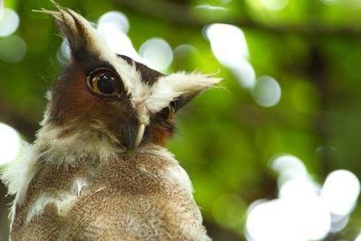 photo of an owl in tropical forest of costa rica