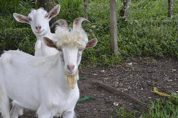 goats on an organic farm in costa rica