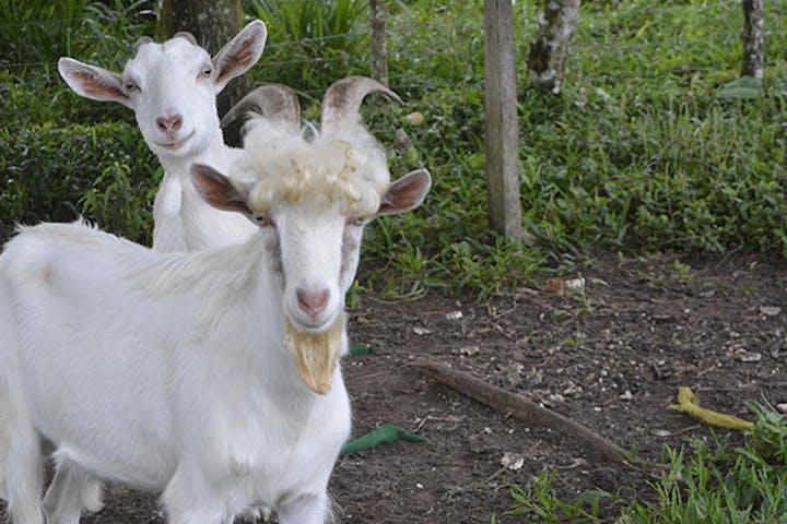 goats on an organic farm in costa rica