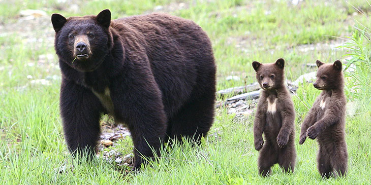 A bear with her two cubs
