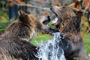 two bears fight in water