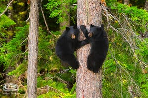 Two black bear cubs in a tree