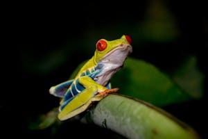 A tropical frog sitting on a leaf