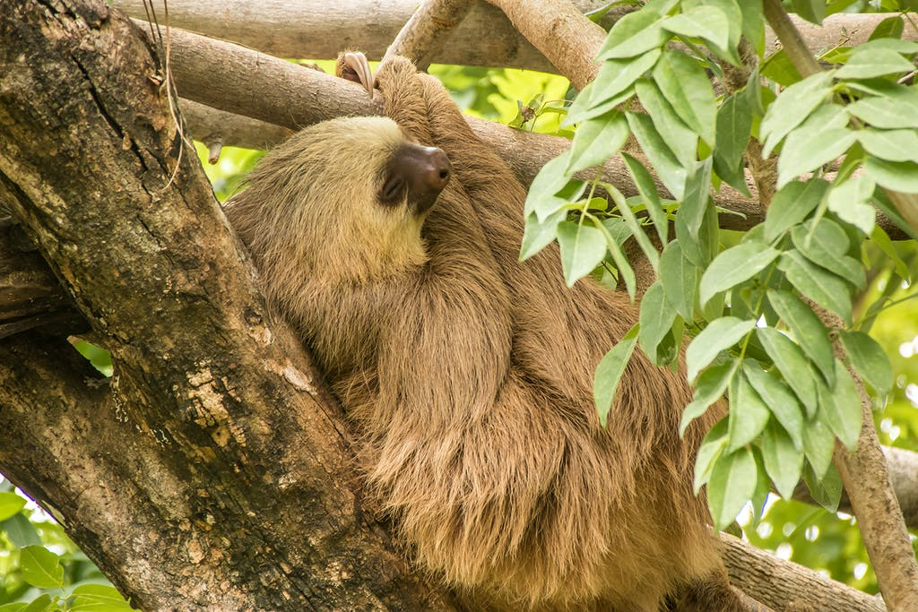 sloth sleeping on a tree