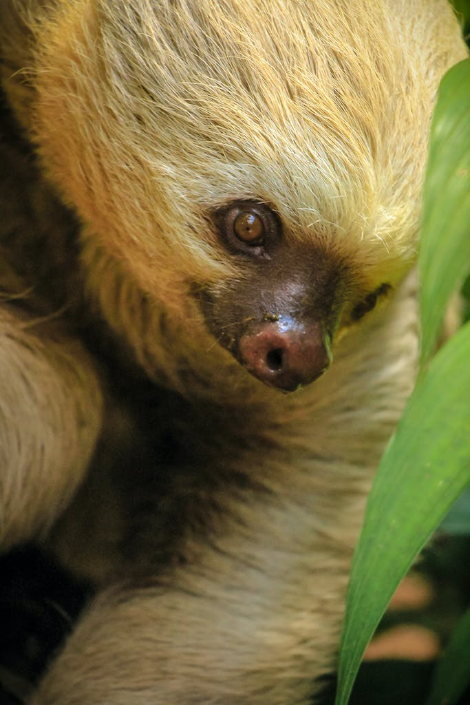 a close up of a two toed sloth