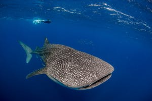 person viewing a whale shark underwater