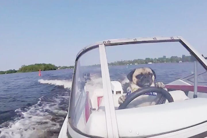 dog driving boat