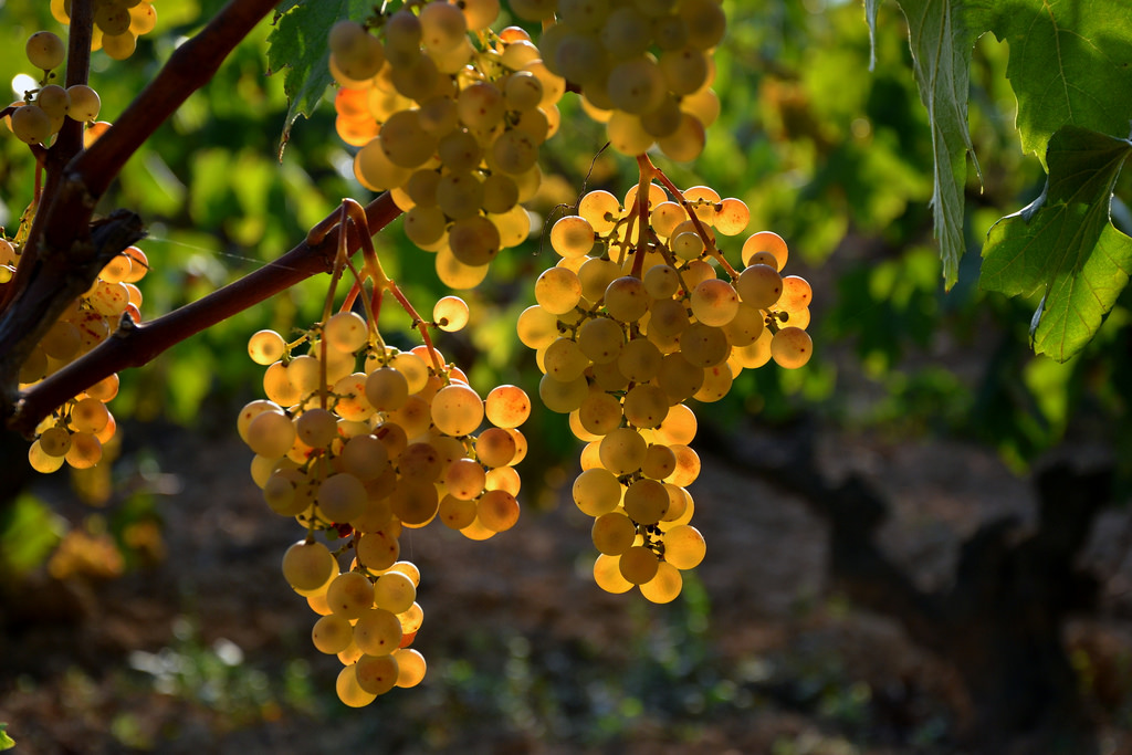 Delicious Catalan wines start with high-quality grapes