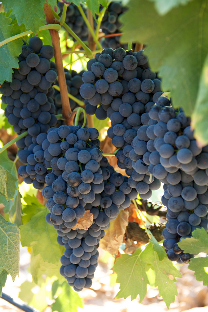 Tempranillo grapes produce outstanding Rioja wines