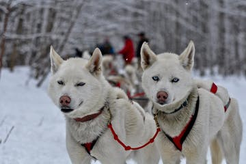 2 white dogs in the snow
