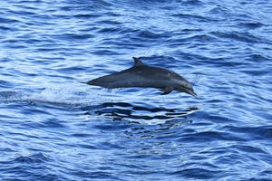 Pan spotted tropical dolphin jumping