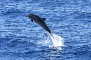 spotted dolphin jumping