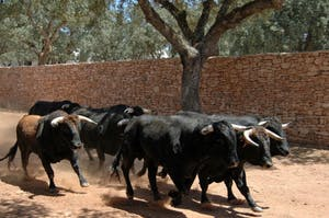 black bulls running