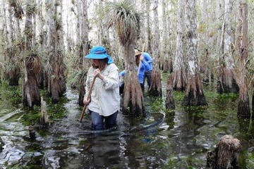 people slogging through cypress swamp of everglades