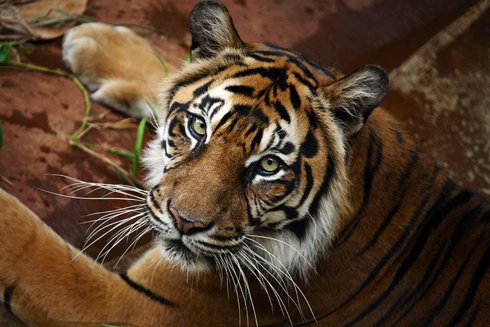 honoluluzoo_tiger