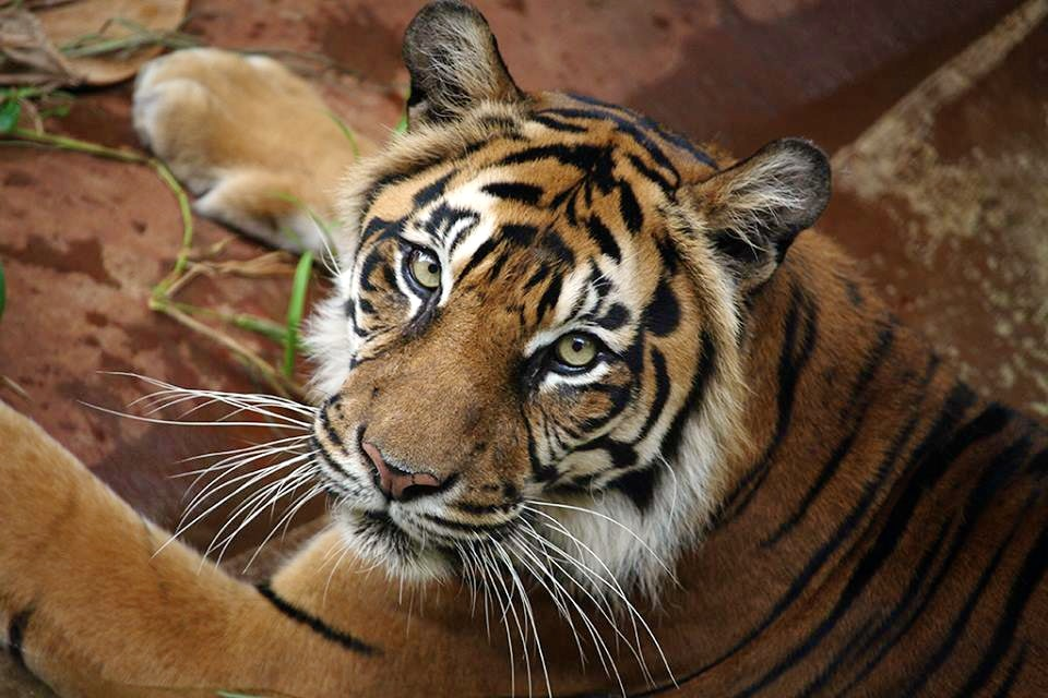 honoluluzoo_tiger