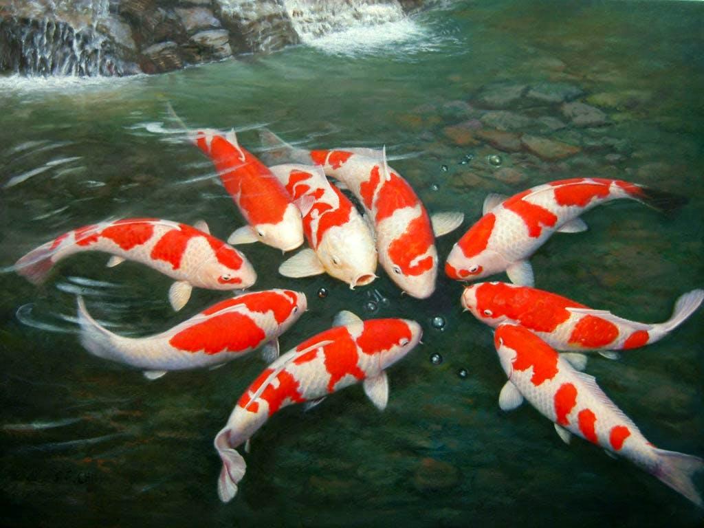 koi_carp_fish