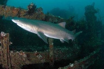 Shark on the Sea Tiger shipwreck