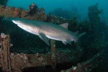 Shark on the Sea Tiger shipwreck