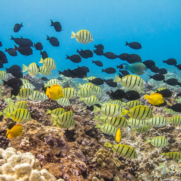 A group of fish in a Maui reef