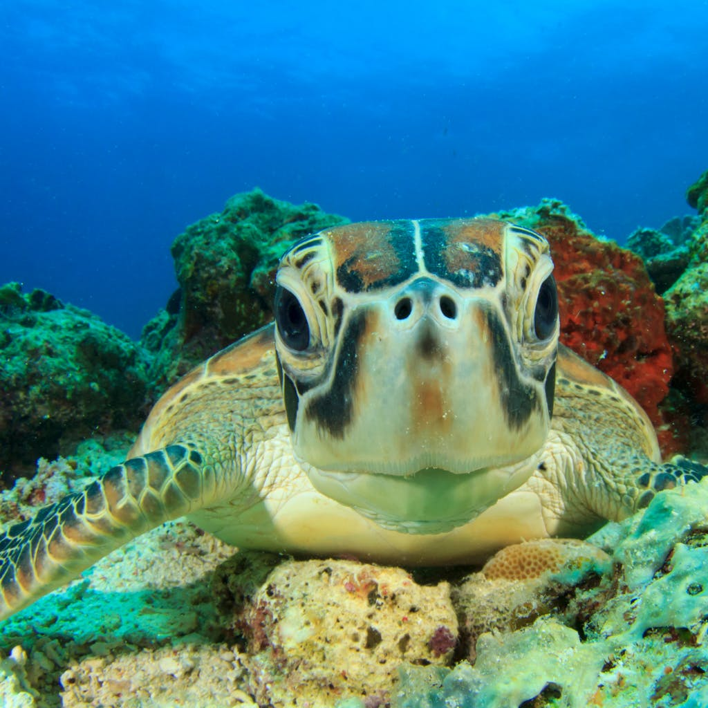 swimming snorkeling with sea turtles us virgin islands vi eco tours
