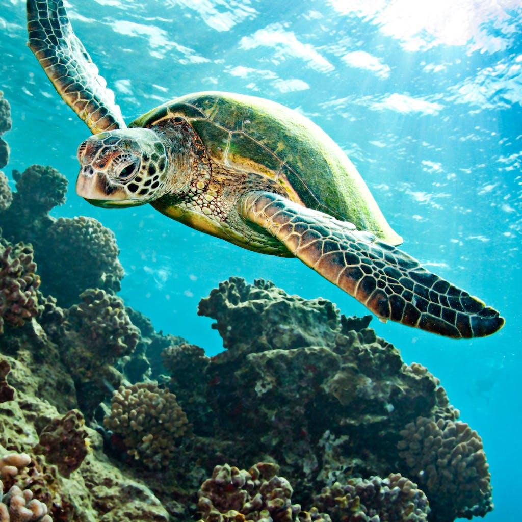 snorkeling usvi sea turtles