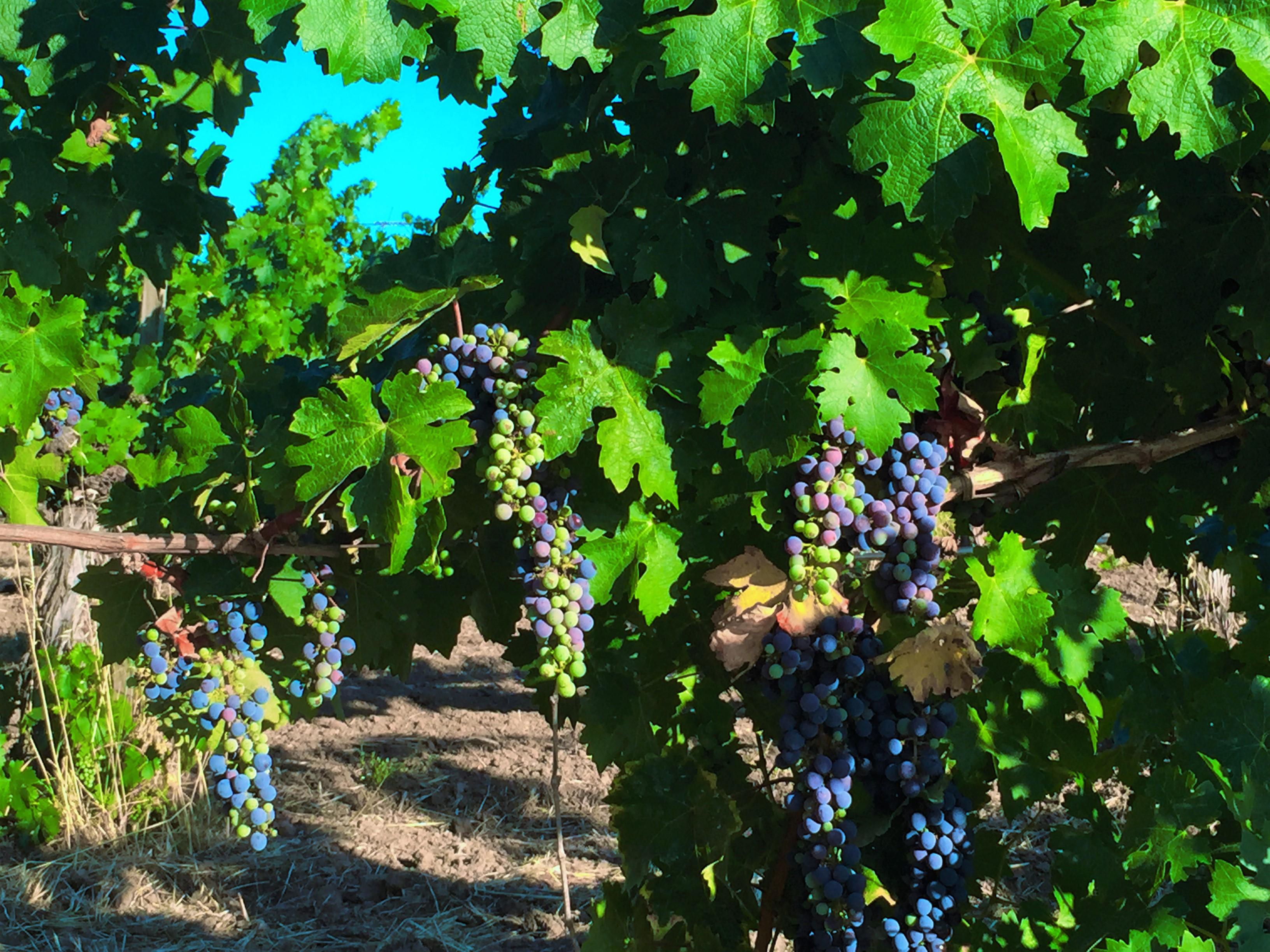 grapes on wine tasting tour