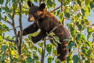 a black bear sitting on a branch