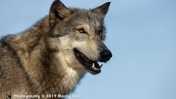 a wolf that is looking at the camera