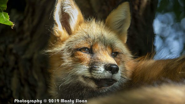a close up of a fox
