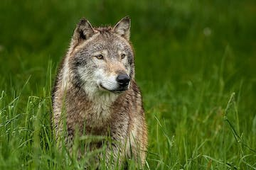 a wolf that is standing on a lush green field