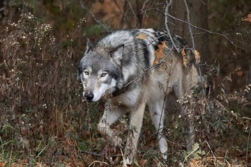 a wolf that is standing in the grass