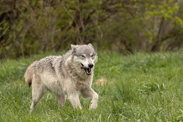 a wolf outside in the grass