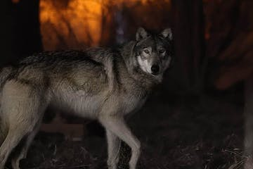 a dog standing in front of a wolf