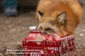 Fox with holiday present