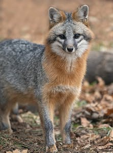 a fox standing in the dirt