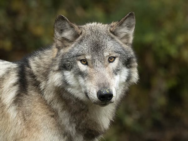 a close up of a wolf
