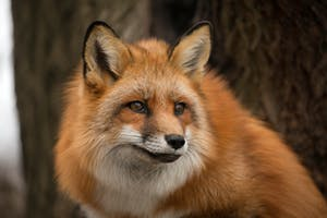 a close up of a fox
