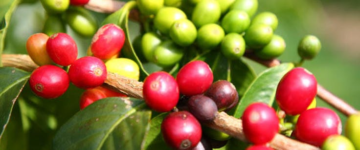 Coffee berries on the maui tropical plantation tour
