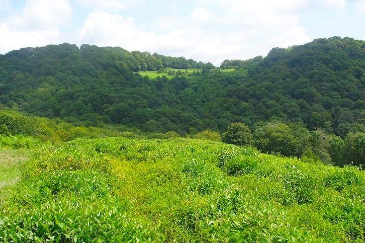 Tea plantation in Sochi