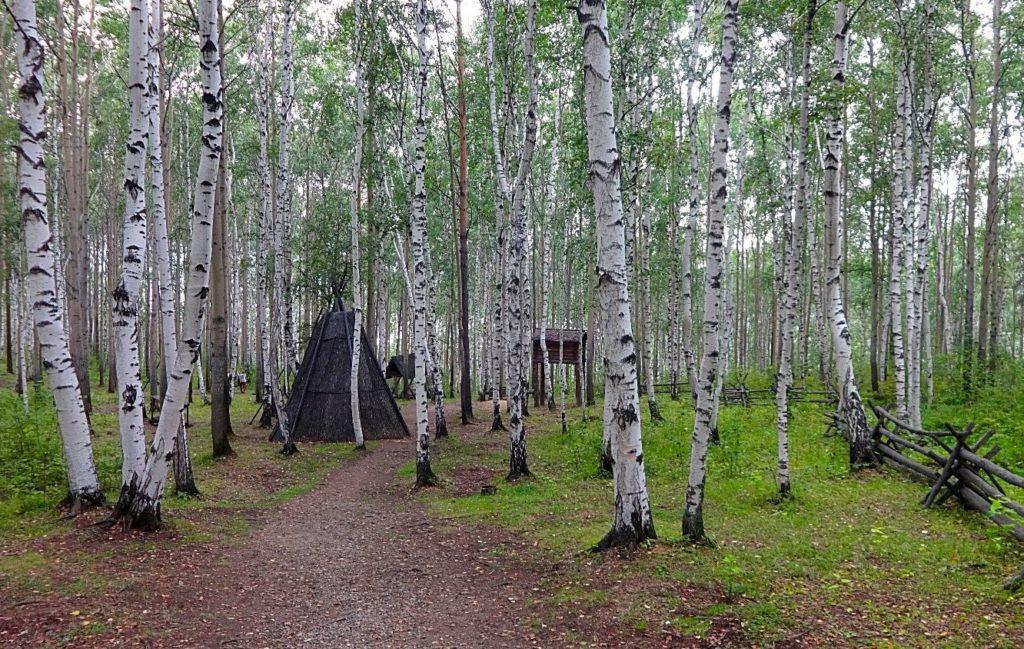 Trans-Siberian Russian birches