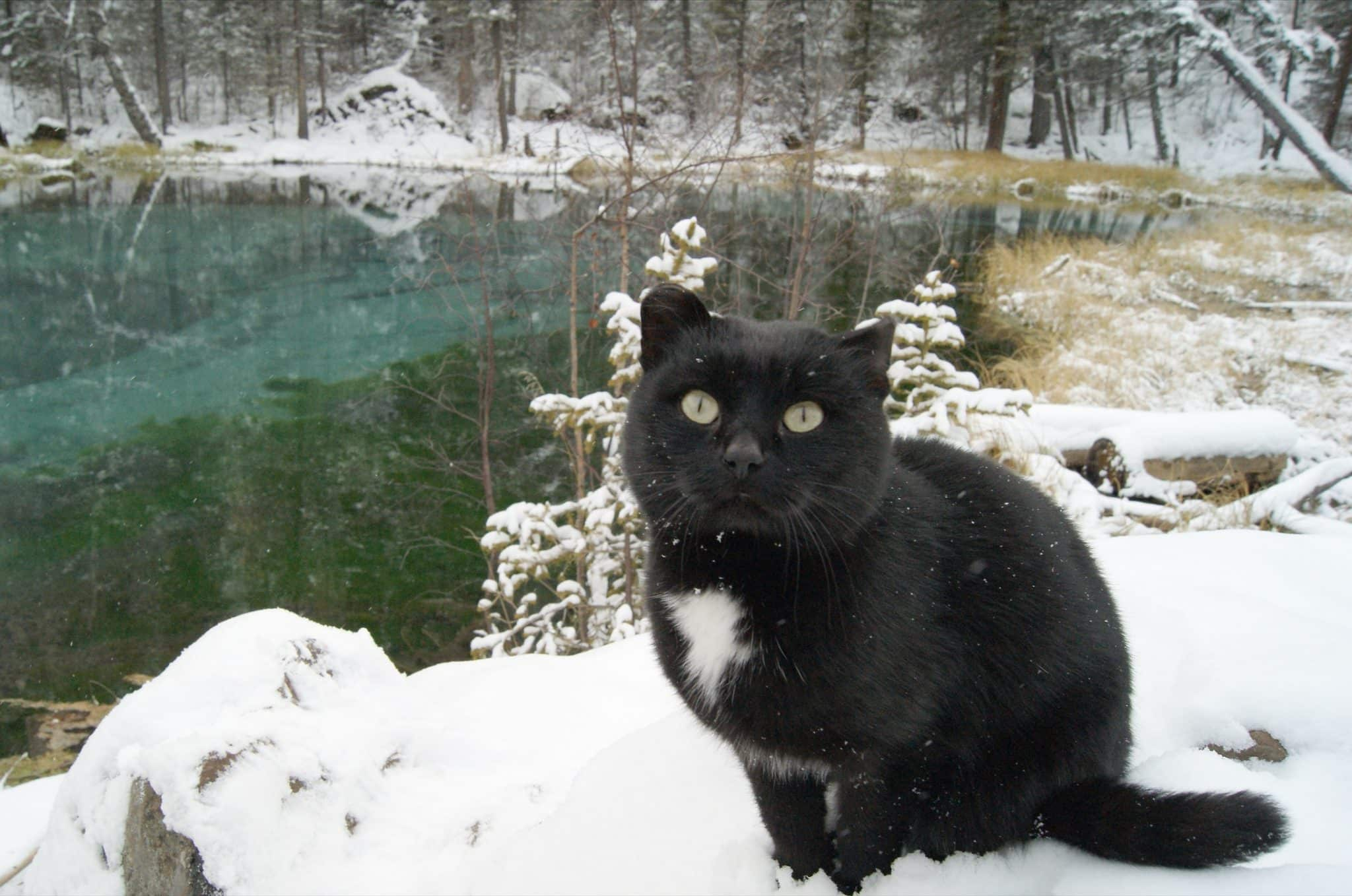 Altai mountains cat