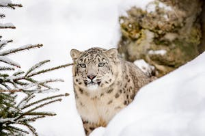 a leopard in the snow
