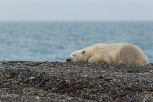 a polar bear lying on top of a body of water