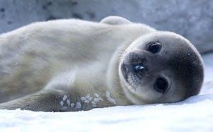 a polar bear lying on top of a seal