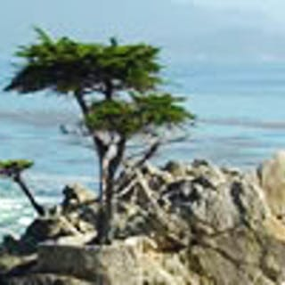 Cypress Tree in Monterey