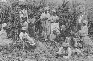 Enslaved working in a sugar cane field