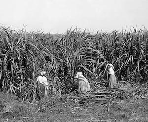 enslaved people working in fields