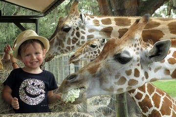 a child feeding a giraffe at a zoo